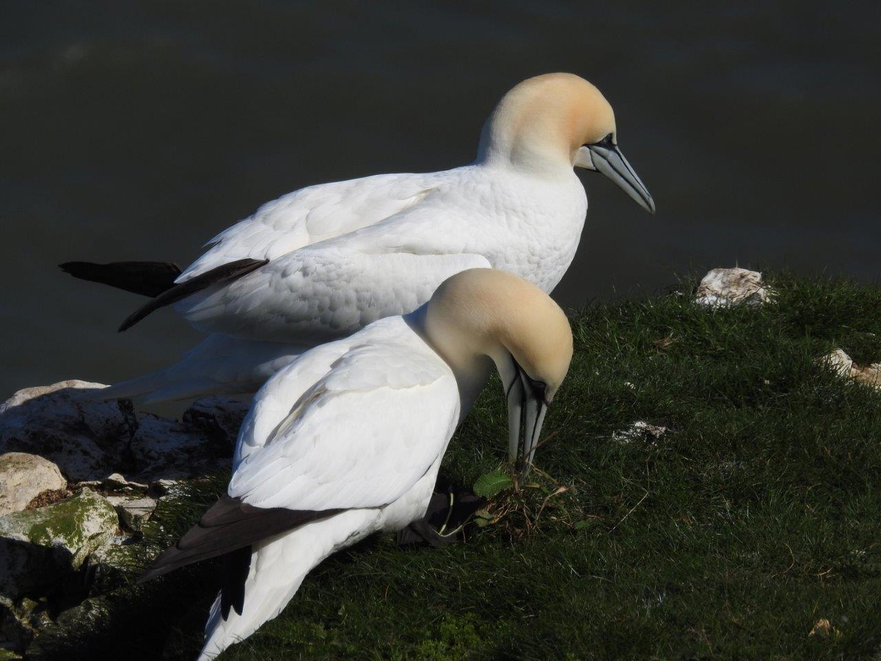 Gannets, Yorkshire 2016