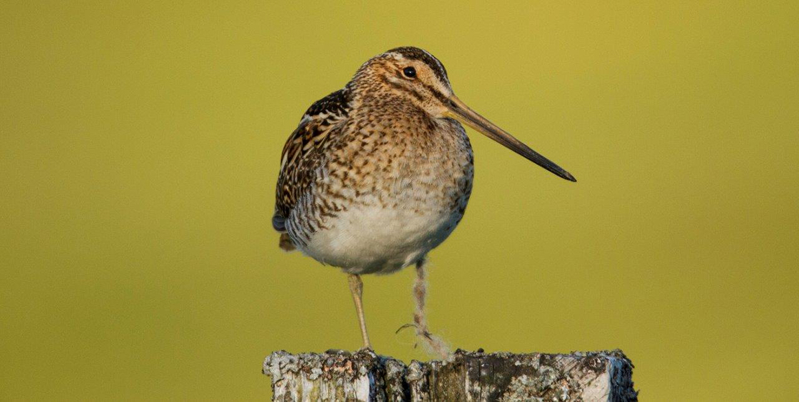 Snipe on a fencepost